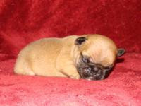 Beatiful fawn male with black mask. Born 11/9/12. Comes