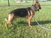 !!Beautiful AKC Registered German Shepherd Puppies for
