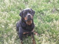AKC German Rottweiler puppies just in time for