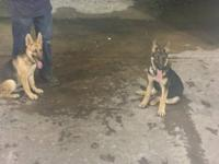 I have AKC German Shepherd pups, I have 4 females 2