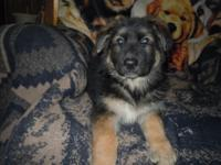 Attractive AKC reg. German Guard young puppies 9 wks