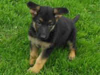 We have one male and one female German Shepard left.