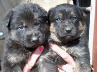 German Shepherd puppies, AKC , 1st Shots, wormed,