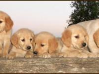 Purebred Golden Retriever puppies for sale!! Two males