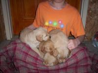 We have 9 charming AKC Golden Retriever puppies looking