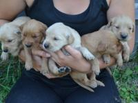 Adorable AKC Golden Retriever puppies born 7-20-15. 5