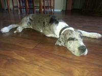 Hi I have two great dane dogs the harlequin female is a
