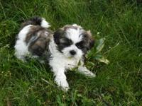 Adorable AKC registered Imperial Shih Tzu. Get on the