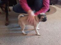 Adorable 4 mo old AKC intact, fawn male Pug puppy, no