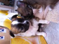 Beautiful AKC L/C puppies. 3 males and 1 female.