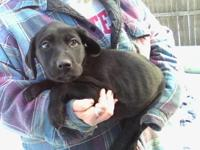 "Lovable AKC Lab Puppies searching for a ""forever"""