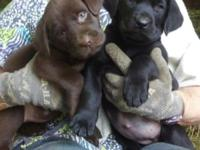 Adorable registered lab puppies all colors all sex. Now