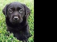 Hello, currently have English AKC Labrador puppies for