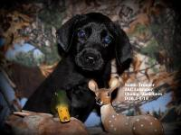 This is Trooper. He is an Akc Labrador retriever puppy.