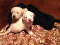 Beautiful AKC Registered Lab Puppies $550.00, yellow &