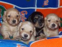AKC Longhaired Miniature Dachshund Puppies For Sale! 2