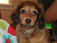 Adorable AKC Longhaired Miniature Dachshund Puppy For