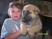 I have 3 cute male German Shepherd puppies. Heidelberg
