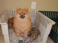 Adorable AKC Male Pomeranian that is 9 months of age.