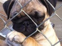 I have one male pug puppy left looking for loving new