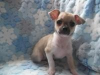 AKC male Chihuahua puppy. $550.00. Born 9/8/14. This