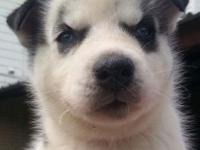 We only one adorable AKC Male Siberian Husky puppy