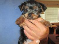 We have 3 AKC Male Yorkshire Terrier Puppies, that are