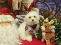 AKC Reg. Maltese puppies for sale. Males just.