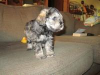 AKC registered Minature Schnauzers for sale. Born Feb.