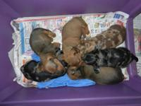 I have 6 AKC mini Dachshund puppies, 3 males and 3