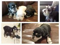 Adorable black & silver mini schnauzer puppies. Your