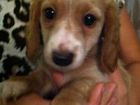 AKC miniature dachshund long haired red male puppies,