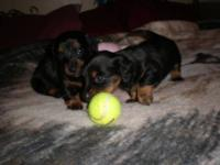We have two adorable AKC Male Black/Tan Puppies