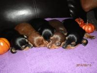 Adorable AKC miniature dachshund young puppies born