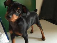 Have a male and female miniature pinscher available for