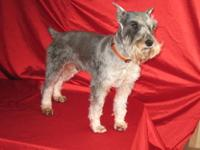 True miniture schnauzer babies. They are AKC. Mom is