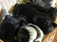 3 AKC MINITURE SCHNAUZER PUPPIES. I HAVE 1 FEMALE & 2