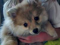 We have a female Pomeranian born upon 1-26-14. She is