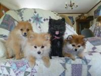 PERSONALITY PLUS! Cutest, sweetest Pom puppies bred for