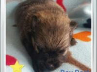 Pomeranian puppies born August 6th and will be ready