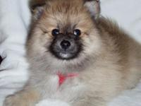 I have 3 lovable AKC Pomeranian new puppies available.