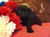 Adorable , AKC solid black puppy , super friendly and