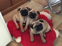 Adorable AKC Registered Pug Pups! 8 weeks old. Born