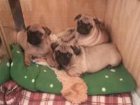 Adorable AKC registered Pug pups. 9 weeks old. Born