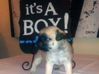 We have a litter of AKC Pugs that will be 8 weeks old