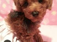 CHAR- RUE IS A BEAUTIFUL DARK RED FEMALE TOY POODLE