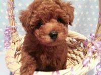 BORDEAU RUE IS A SMALL ADORABLE AKC DARK RED MALE TOY