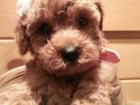 Noel is a gorgeous Red Toy Poodle Puppy. She was born