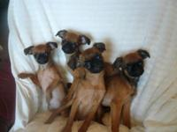 I have four Darling AKC reg. Brussels Griffon puppies