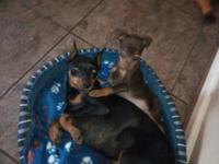 3 Beautiful AKC reg. Miniature Pinschers 10 weeks old